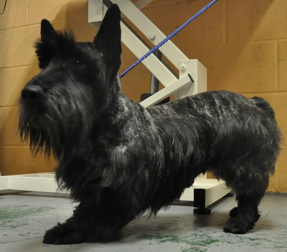 On How To Cut A Scottish Terrier | scottish terrier