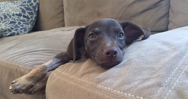 German Shorthaired Pointer Mixed With Pitbull